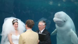 Beluga whale attends wedding