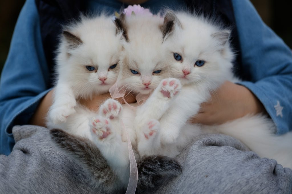 An adorable Viking tradition: Kittens as wedding gifts